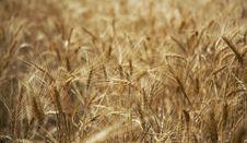 Free Ripe Wheat Royalty Free Stock Photos - 15024508