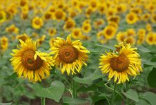 Free Beautiful Sunflowers Royalty Free Stock Photo - 15024565