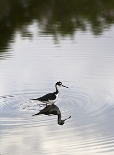 Black Necked Stilt (Himantopus Mexicanus) Stock Images