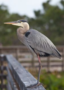 Free Great Blue Heron Stock Photo - 15025000