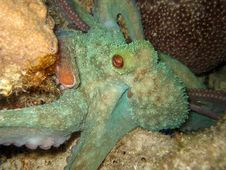 Free Octopus Night Dive Stock Photo - 15025040
