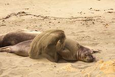 Free Seal, California Coast Royalty Free Stock Photos - 15025268