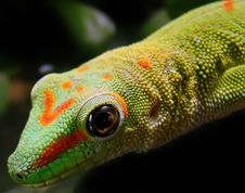 Free Madagascar Giant Day Gecko Stock Image - 15025821