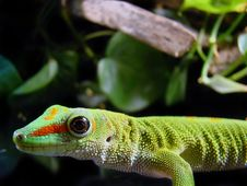 Free Madagascar Giant Day Gecko Stock Images - 15025944