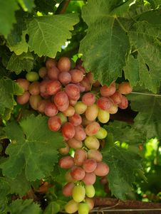 Free Sweet Grapes Royalty Free Stock Photography - 15026257