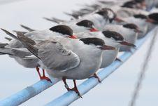 Free Tern Stock Photo - 15027170