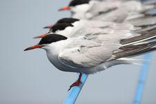 Free Terns Royalty Free Stock Photos - 15027178