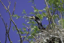 Cormorant In The Nest Stock Photography
