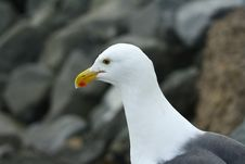 Free Seagull Profile Stock Images - 15028574