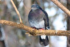 Free Kyiv Pigeon Royalty Free Stock Image - 15028676