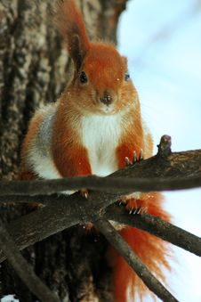 Free Red Squirrel On The Tree Stock Image - 15028691