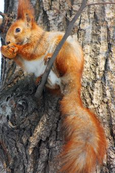 Free Red Squirrel On The Tree Royalty Free Stock Photos - 15028698
