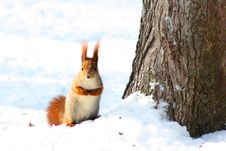 Free Red Squirrel On The Tree Royalty Free Stock Photo - 15028715