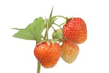 Free Strawberries On White Royalty Free Stock Photography - 15029007