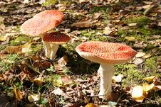 Free Fly Agaric Royalty Free Stock Images - 15029099
