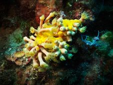 Free Yellow Cluster Anemone Stock Image - 15029801