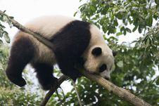 Free Panda Royalty Free Stock Photos - 15029898