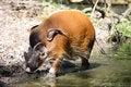 Free Red River Hog - Potamochoerus Porcus Stock Photography - 15034392