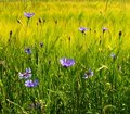 Free Cornflowers Stock Photography - 15035002