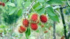Free Rambutans Stock Photography - 15030432