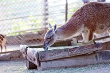 Free Llama Stock Image - 15030571