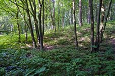 Free Deciduous Forest In Summer Stock Photo - 15030840