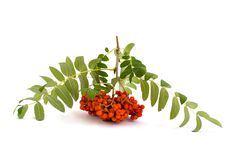 Free Mountain Ash Branch Stock Images - 15030944