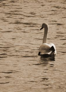Free Swan In The English Port Of Christchurch Royalty Free Stock Image - 15031076
