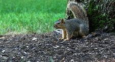 Free Squirrel Defending Tree Royalty Free Stock Photos - 15031618