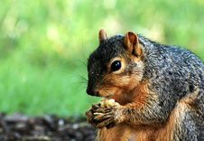 Free Squirrel Eating Close Up Stock Images - 15031624