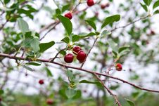 Free Cherry Berries On A Tree Stock Images - 15032254
