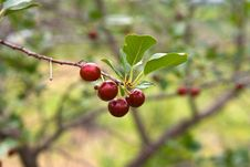 Free Cherry Berries On A Tree Stock Photography - 15032282