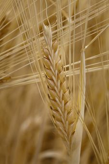 Free Wheat Stock Images - 15032354