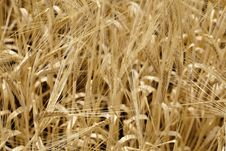 Free Wheat Stock Images - 15032444