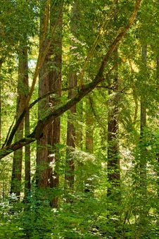 Free Sunglow Through The Redwoods Stock Photo - 15032710