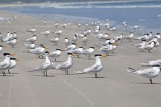 Free Royal Tern Royalty Free Stock Photo - 15034085