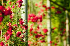 Free The Red Rose Royalty Free Stock Photo - 15034235