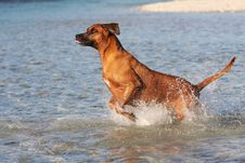 Free Jumping Rhodesian Ridgeback Royalty Free Stock Photos - 15034568