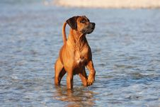Free Rhodesian Ridgeback Close Up Royalty Free Stock Photo - 15034575