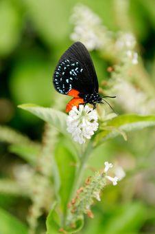 Blue Morpho On White Flower Stock Photography