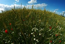 Free Round Wheat & Poppy Field Stock Photo - 15034830