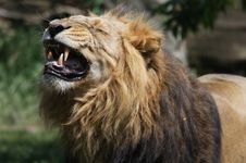 Free Lion Royalty Free Stock Photo - 15035255
