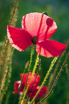 Free Poppy Royalty Free Stock Images - 15036179