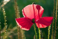 Free Poppy Stock Photography - 15036212
