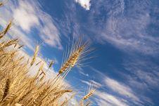 Free Wheat Field Stock Photography - 15036272
