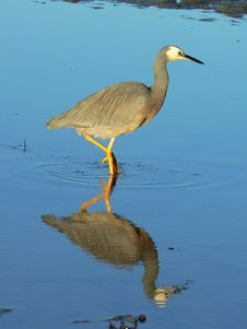Heron Searching For Food In The Sea Royalty Free Stock Photo