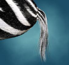 Free Zebra Stock Photos - 15037143