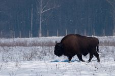 Free European Bison (Bison Bonasius) In Winter Royalty Free Stock Photography - 15037297