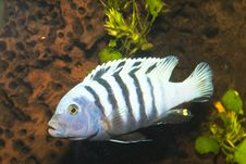 Free Stripped Cichlid In Aquarium Royalty Free Stock Images - 15038079
