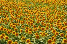 Free Sunflower Gold Field Stock Images - 15038114